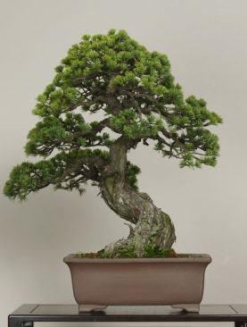 Bonsai (Orta)